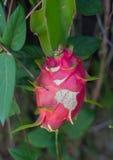 Nästan mogen Dragonfruit som växer och Arkivfoton