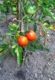 Nästan mogna tomater Royaltyfria Bilder