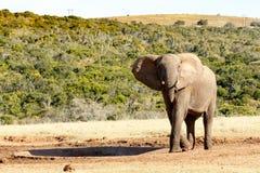 Nätt - afrikanBush elefant Arkivbild