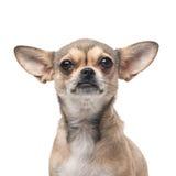 Nätt allvarlig smart hund Arkivbilder