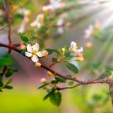 Nätt Apple blomning arkivbild