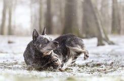 Nätt australisk nötkreaturhundvalp, i att gå snönaturbackgr royaltyfria foton