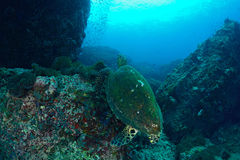 Nätt baksida av en havssköldpadda Royaltyfria Bilder