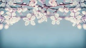 Nätt blom- gräns för körsbärsröd blomning på pastellblåttbakgrund Royaltyfria Bilder