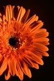 Nätt blomma på en orange bakgrund Royaltyfri Fotografi
