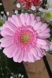 nätt blommagerbera Royaltyfria Foton