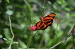 Nätt ek Tiger Butterfly med långa vingar Royaltyfria Bilder