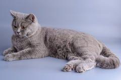 Nätt grå brittisk katt för kort hår som ligger ner isolerat på en purpurfärgad bakgrund Arkivfoton