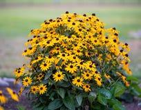 Nätt gul blomningbuske royaltyfria foton