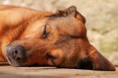 Nätt hund som ligger på golv royaltyfri fotografi