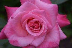 Nätt i rosa färgros Royaltyfri Bild