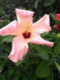 Nätt i rosa hibiskusblomma Royaltyfri Foto