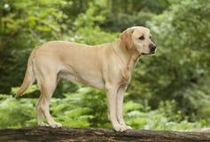 Nätt labrador hund Arkivfoton
