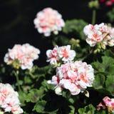 Nätt ljust - rosa blommor som fotograferas i madeira royaltyfria bilder