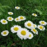 Nätt många små gladlynta färgrika vårblommor Royaltyfri Foto