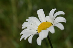 Nätt perfekt engelska Daisy Flowering och blomma royaltyfri foto