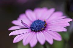 Nätt purpur tusensköna Arkivbilder