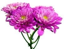 Nätt purpurfärgad dahlia Royaltyfri Foto