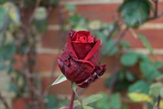Nätt röd ro Royaltyfri Foto