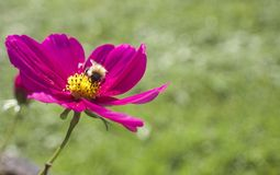 Nätt rosa färgblomma med biet Arkivbild