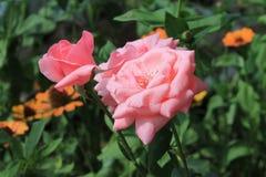 Nätt rosa färgros royaltyfria foton