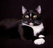 Nätt svartvit katt Royaltyfri Fotografi