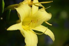 Nätt trädgård med en blommande gul Daylily Arkivbilder