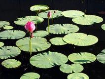 nätt vatten för lilja royaltyfri bild