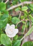 Nätt vit blomma i trädgården Royaltyfria Bilder