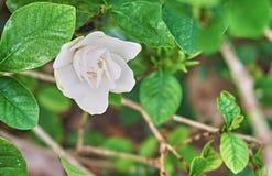Nätt vit blomma i trädgården Arkivbild