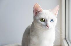 Nätt vit katt med olika kulöra ögon Arkivbild