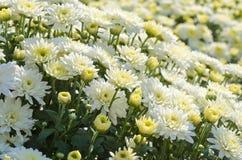 Nätt vita FallChrysanthemums Arkivbilder