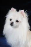 nätt white för hundvarvstående Royaltyfria Bilder