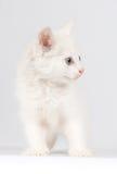 nätt white för kattunge Fotografering för Bildbyråer