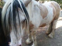 Nätt zigensk häst Royaltyfri Foto