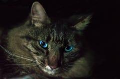Nätta blått synade Cat Feline royaltyfria foton