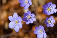 Nätta blåttvårblommor Royaltyfri Fotografi