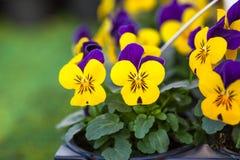 Nätta färgglade violetta och gula blommor av altfiolen för trädgårdpenséplantor som är tricolor i små krukor på försäljning i trä arkivbilder