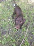 Nätta Hunter Pupper royaltyfria foton