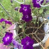 Nätta lilablommor Royaltyfria Bilder