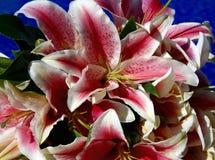 Nätta liljablommor Arkivbild