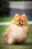 Nätta Pomeranian i den utomhus- trädgården Royaltyfri Foto
