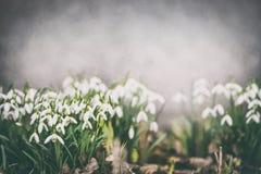 Nätta snödroppar på trädgårds- säng som är utomhus- härliga Europa blommor kan viciifoliaen för springtime för salviaen för natur royaltyfri foto