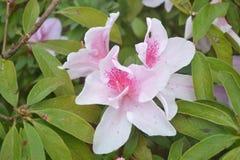 Nätta vit- och rosa färgblommor Royaltyfri Fotografi