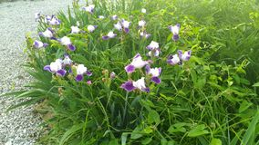 Nätta vita blommor för lilor och på minnesdagen 2018 Fotografering för Bildbyråer