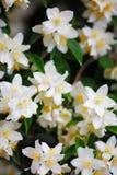 Nätta vita blommor som blommar i trädgård Arkivbilder