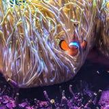 Nå en höjdpunkt clownfish Royaltyfria Bilder