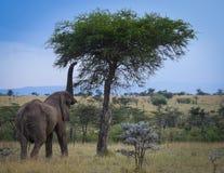 Nå för elefant Arkivfoto