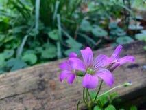 Någon rosa färg blommar bredvid ett träbräde Fotografering för Bildbyråer