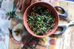 Någon växande små bonsai Arkivfoton